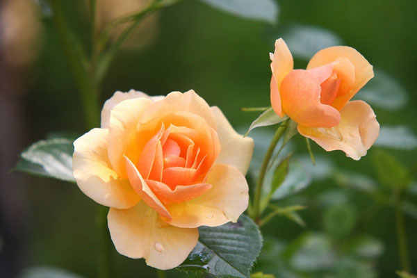 Is wood ash good for roses?